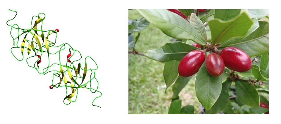 links: Das Protein Miraculin // rechts: Die Mirakelbeere